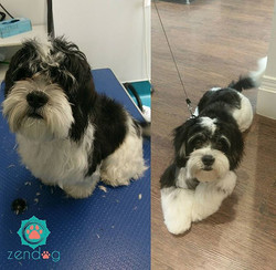 Leo still rocks his mega fluff after being groomed. He is so adorable!!! _) www.zendogservices