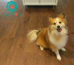 Sparkie showing off his beauty after getting groomed _) www.zendogservices