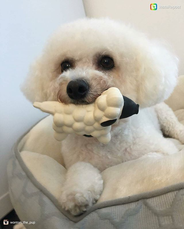 #repost _wonton_the_pup__After a refreshing groom, a toy for dessert_ 💙❤💙 www.zendogservices.com__