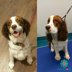 Poopy the beautiful Springer spaniel is very happy with himself, nice and fresh _) www.zendogservice