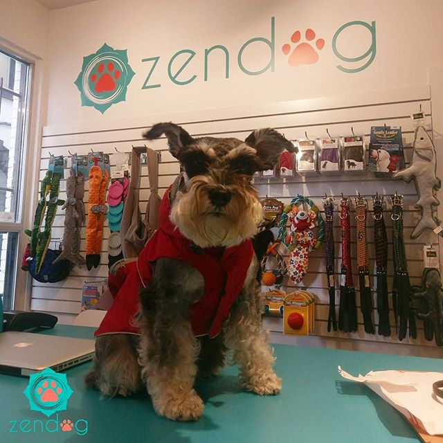 _Glavy_the_schnauzer modeling her new closet item, red Rainy Day Poncho. She's such a doll! 💙❤💙 ww