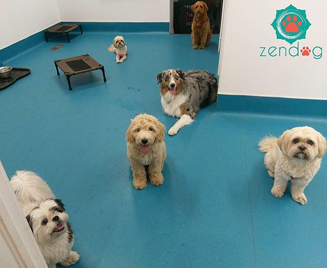 Friday's gang is superb 💙❤💙 Have a woofy weekend everyone! _www.zendogservices