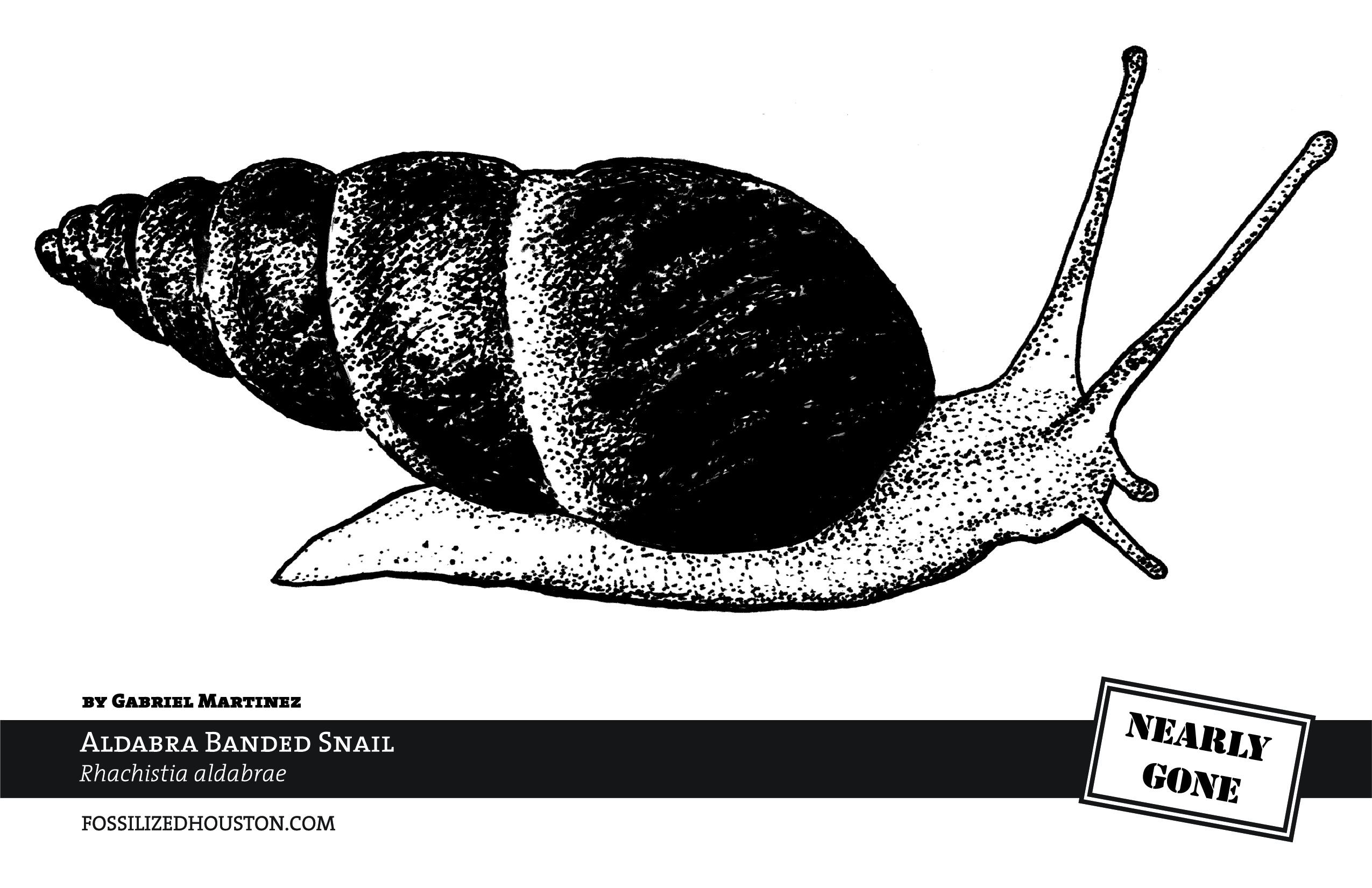 Aldabra Banded Snail