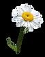 chamomile, botanicals, plant
