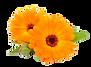 calendula, botanicals, flowers