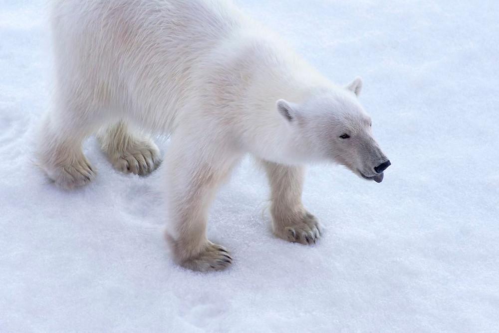 Polar Bears in the Arctic - North Pole