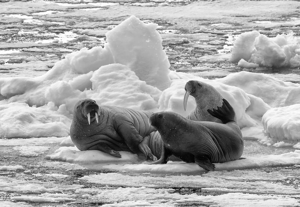North Pole Seals