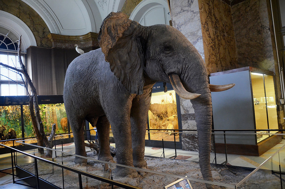An elephant at the Royal Museum for Central Africa.