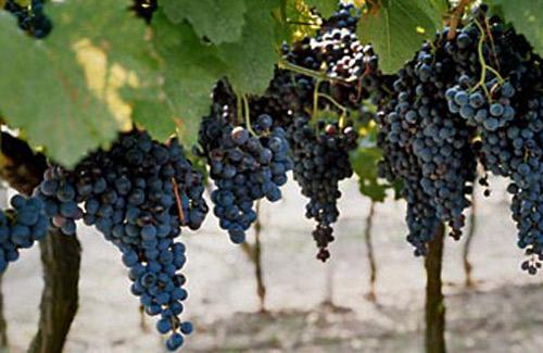 vineyards_bordeaux_adventourus