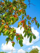 Jesus; Plums; Jean Ann Shirey; Plum Delight; Wild Plums on a Tree; Christian Poetic Art Books; Poetry; Jean Ann Shirey Books; Amazon Kindle Book; http___www.amazon.com_Plum-Delight-Jean-Ann-Shirey-ebook_dp_B008OC1WSA