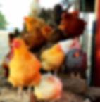 chickensws.jpg