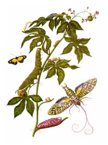 Merian_insectes_Surinam.jpg