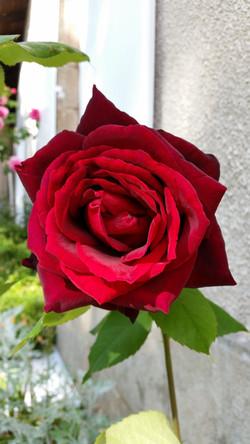 Rose rouge au printemps