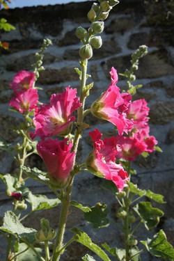Roses trémières ...