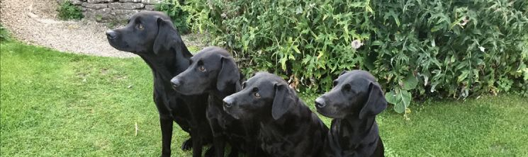 Cotswold Dogs