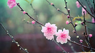 Cherry+Blossom+wallpaper+Peach+flowers+%