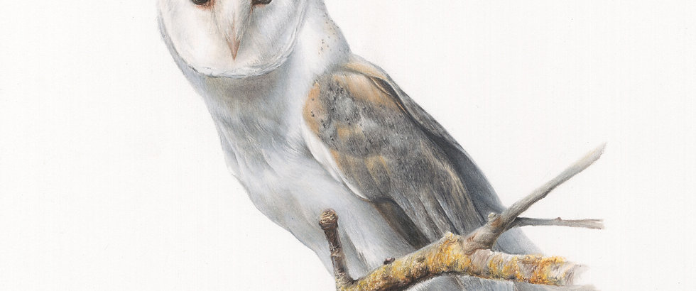 "'BARN OWL' 16x12"" Giclee print"