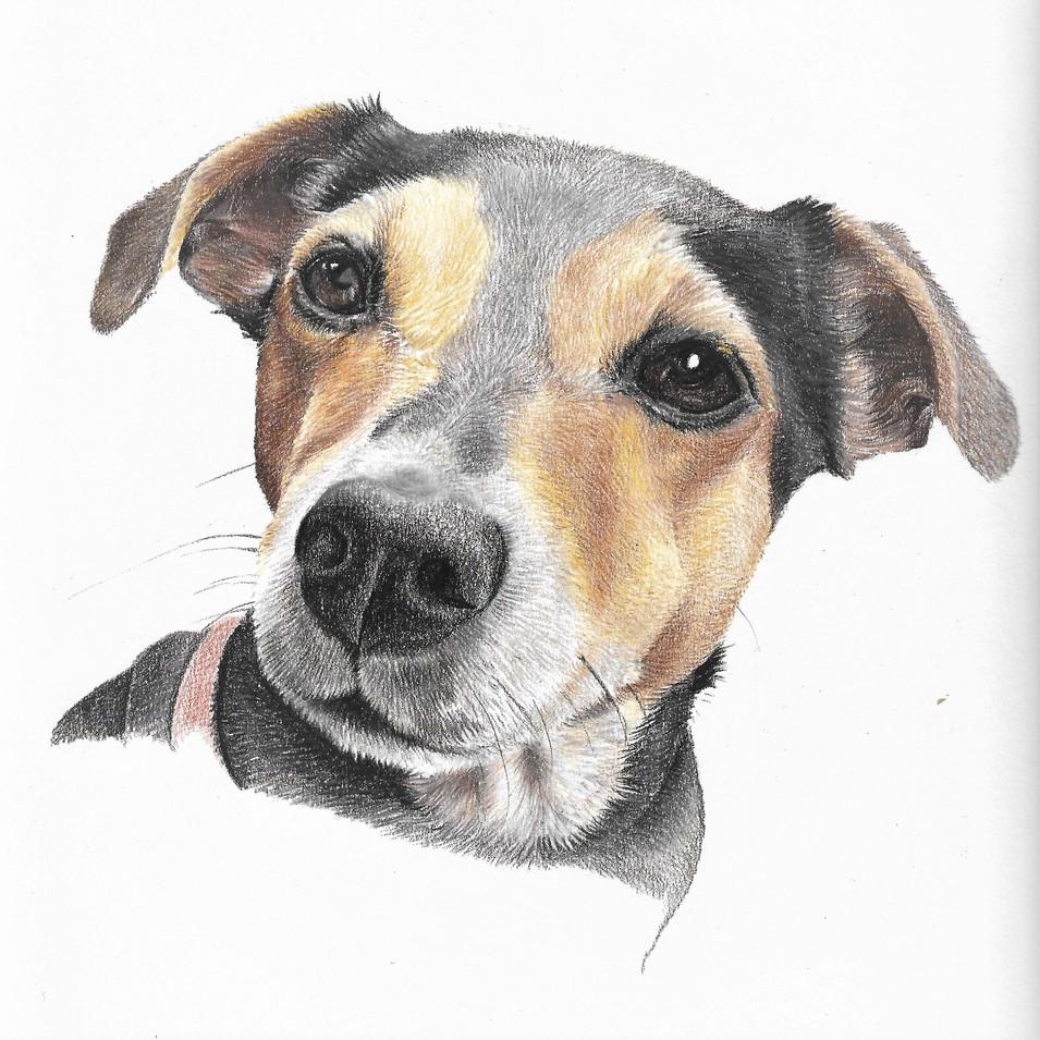 Terrier Pencil portrait drawing by professional portrait artist. £95