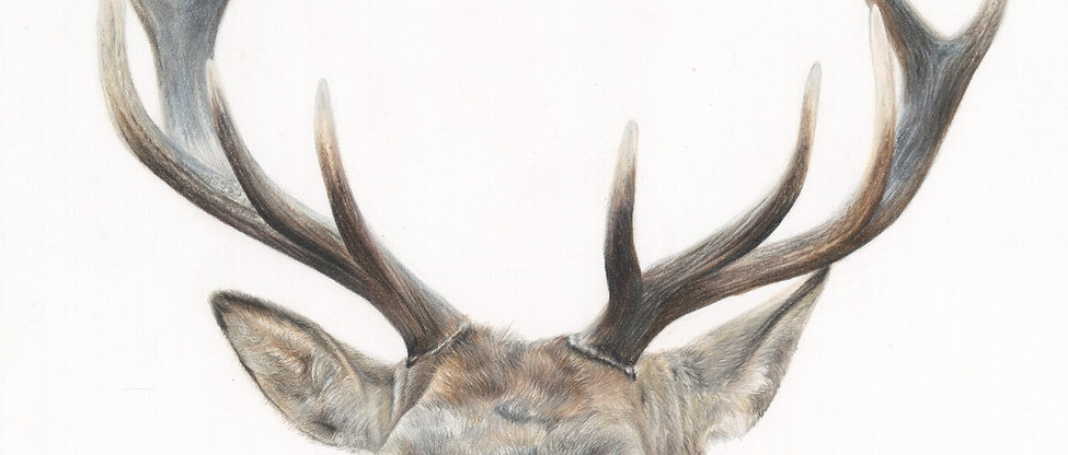 """'STANDING PROUD' Stag Portrait 10x12"""" Giclee print"""