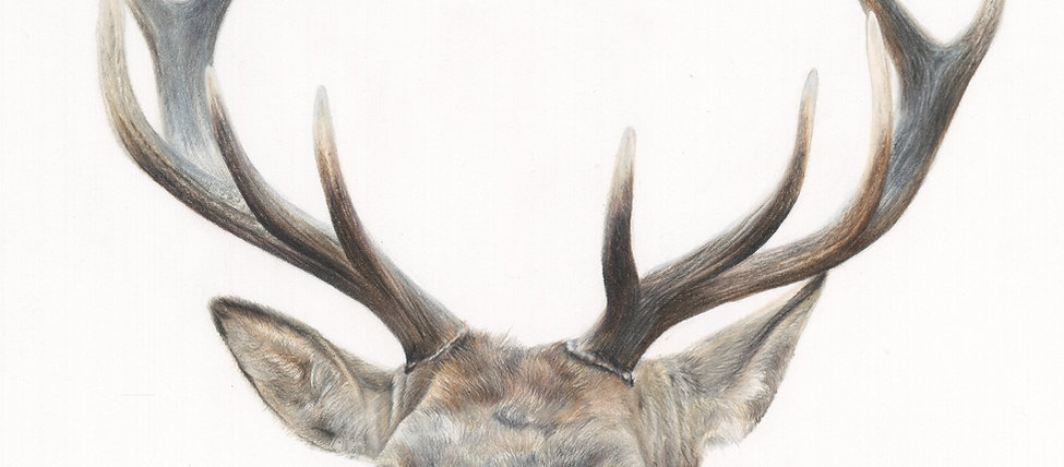 """'STANDING PROUD' Stag Portrait 16x18"""" Giclee Print"""