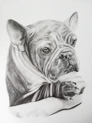 Frenchie pet portrait in pencil