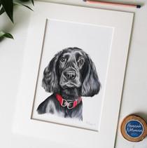 Spaniel colour pencil portrait