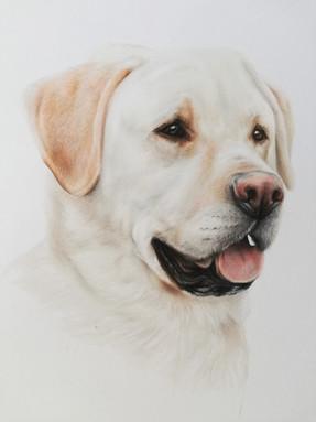 Golden labrador pencil portrait