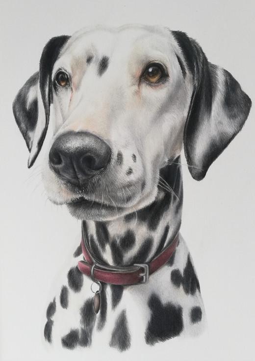 Dalmation pencil portrait