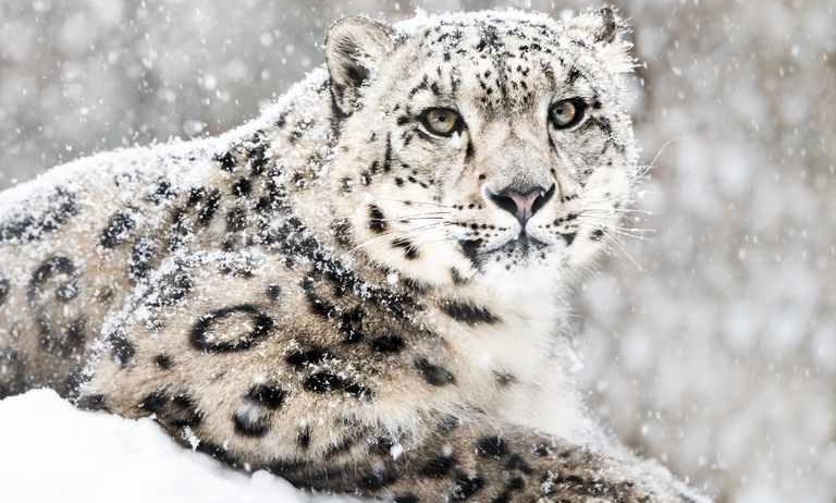 Snow Leopards Subtract