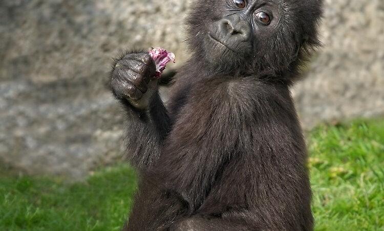 Gorillas Do Geometry
