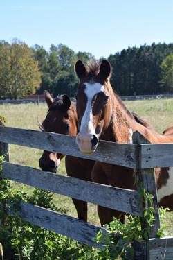 A pair of beautiful horses