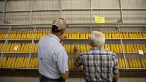 Iowa Farmers Stick With Trump Despite Trade War