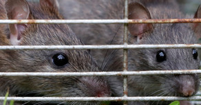 Baltimore Rat Infestation Is So Bad They Made A Documentary About It 2 Years Ago