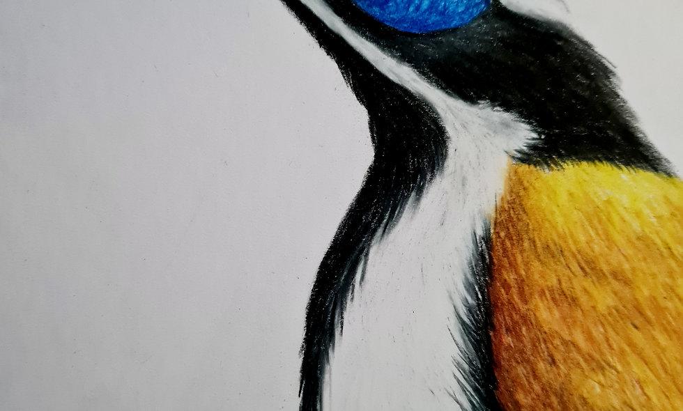 Blue Faced Honey Eater