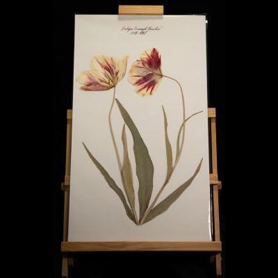 "Blackwell Botanicals - ""Tulipa Triumph Timeless"""