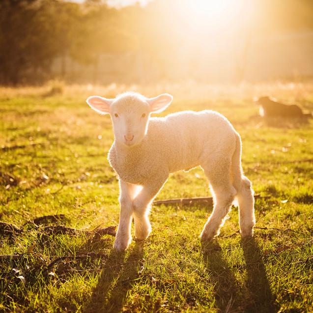 He tends his flock like a shepherd...
