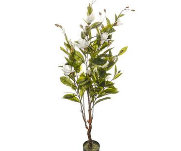 Potted Magnolia Trees