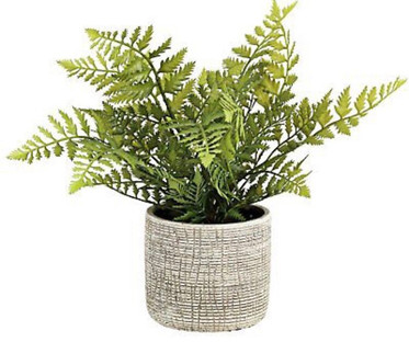 Evergreen Fern Plant
