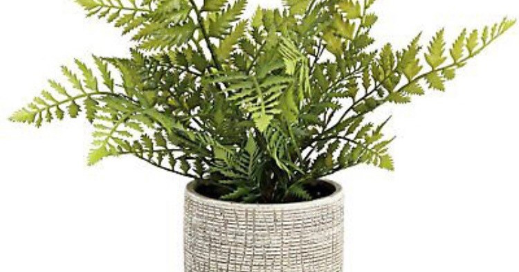 Evergreen Fern Plant