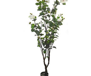 Potted Camellia Trees