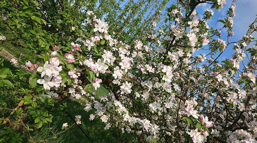 Pommiers en fleurs.jpg