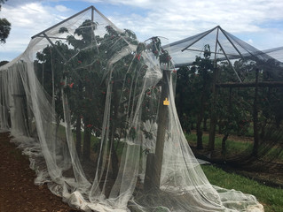 Why do we place nets over our trees?