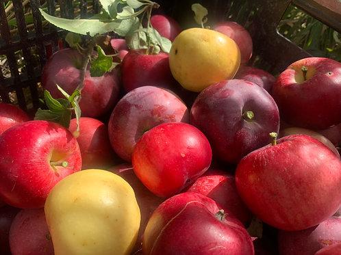 Hardy Apple Trees