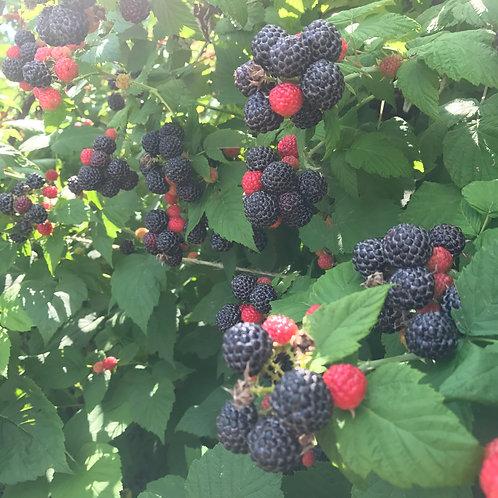 Black Raspberry Plants