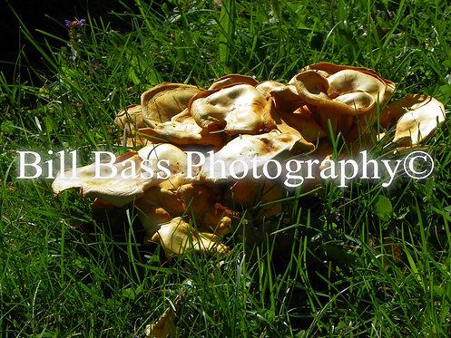 Wild Mushrooms 2