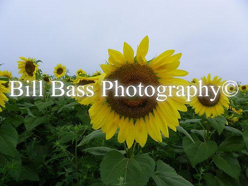 Sunflower 2