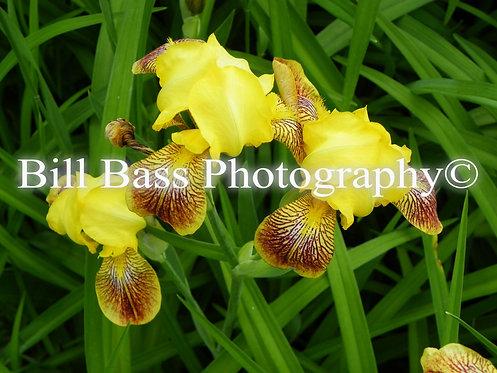 Yellow Iris 2