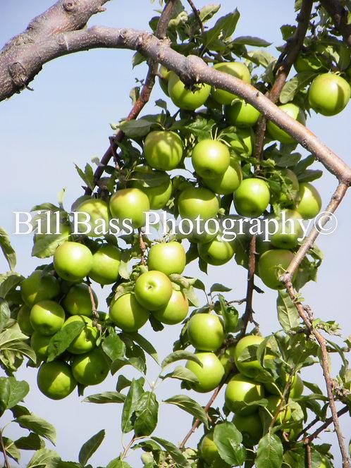 Green Apples 1