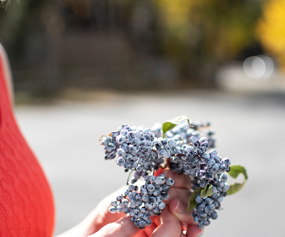 Thea Zobel holding bunch of Elderberries