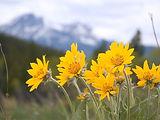Arnica_Flowers.jpg